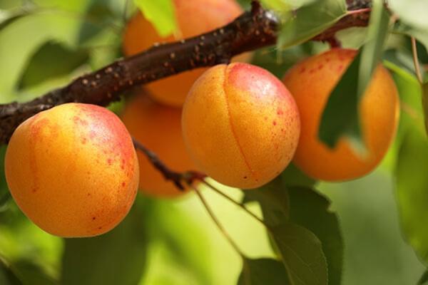 Выращивание абрикосов в сибири 620
